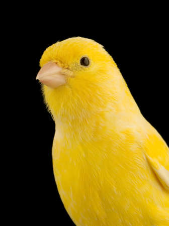 close-up on a yellow canary on its perch in front of a black background photo