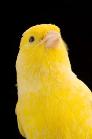 close-up on a yellow canary on its perch in front of a black background