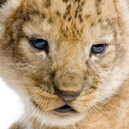 close-up on a Lion Cub (3 weeks) in front of a white background. All my pictures are taken in a photo studio. photo