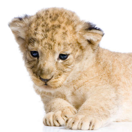 Lion Cub  (3 weeks) lying down in front of a white background. All my pictures are taken in a photo studio. photo
