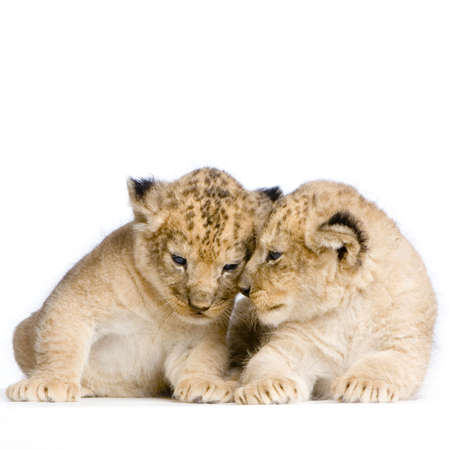 two Lion Cubs  (3 weeks) in front of a white background. All my pictures are taken in a photo studio. photo