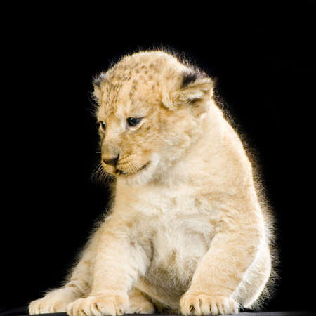 Lion Cub (3 weeks) sitting in front of a balck background. All my pictures are taken in a photo studio. photo