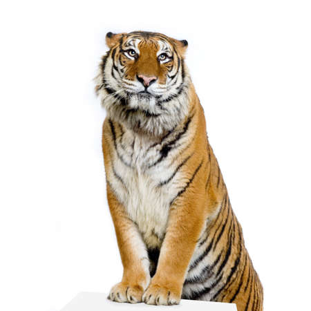 Tiger posing in front of a white background. All my pictures are taken in a photo studio Stock Photo