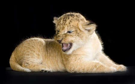 aggressively: Lion CUB di fronte a uno sfondo nero. Tutte le immagini sono presi in una fotografia di studio.