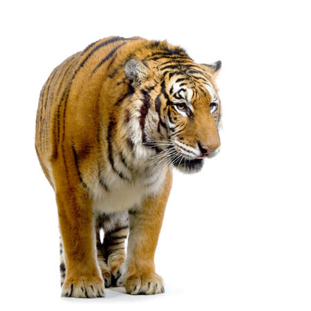 Tiger standing up in front of a white background. All my pictures are taken in a photo studio photo