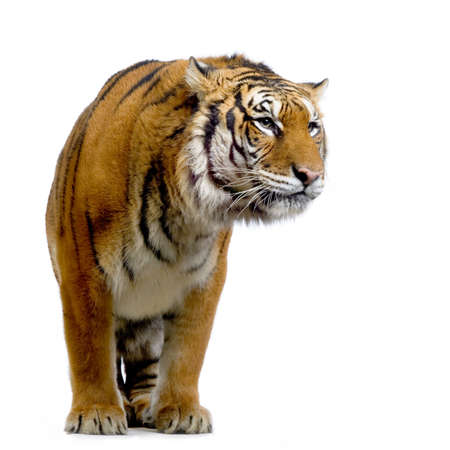 furry animals: Tiger standing up in front of a white background. All my pictures are taken in a photo studio Stock Photo