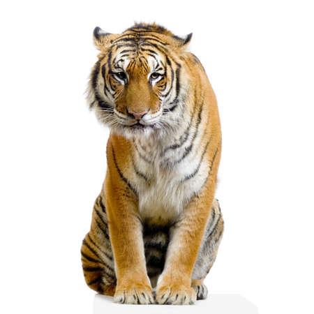isolated tiger: Tiger seduta davanti a uno sfondo bianco. Tutte le immagini sono prese in una foto in studio