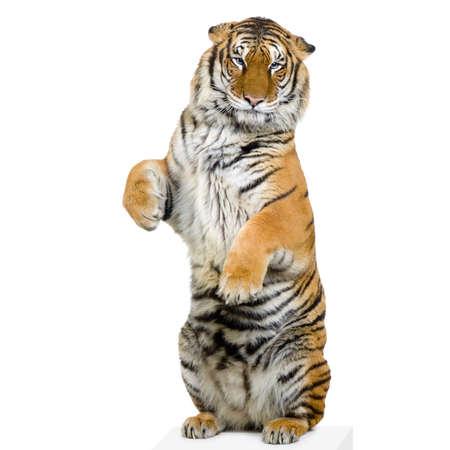 circus animals: Tigre que est� parado encima de la mentira abajo delante de un fondo blanco. Todos mis cuadros se toman en un estudio de la foto