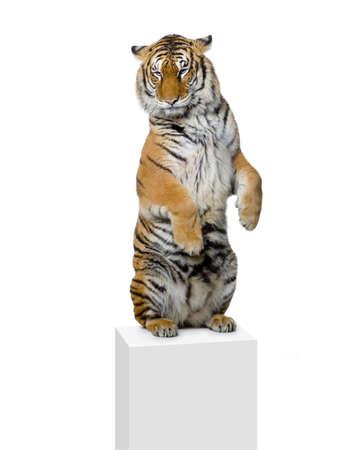 circo: Tiger pie tumbado delante de un fondo blanco. Todas mis im�genes son tomadas en un estudio fotogr�fico  Foto de archivo
