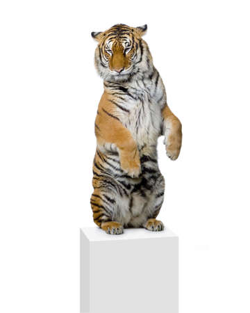 circus animal: Tiger standing up lying down in front of a white background. All my pictures are taken in a photo studio Stock Photo
