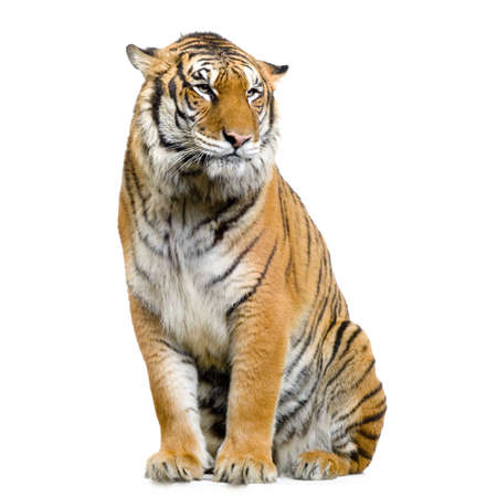 siberian: Tiger sitting in front of a white background. All my pictures are taken in a photo studio