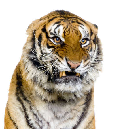 close-up on a Tigers Snarling in front of a white background. All my pictures are taken in a photo studio photo