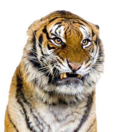 Gros plan sur un Tiger Snarling devant un fond blanc. Toutes mes photos sont prises dans un studio photo