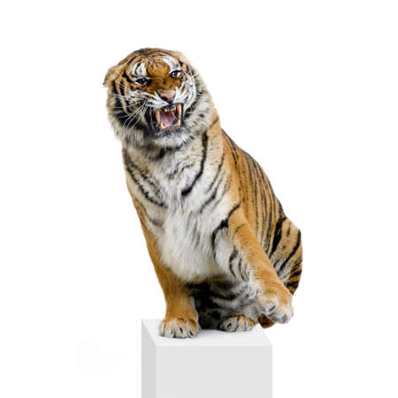 roaring tiger: Tiger sitting in front of a white background. All my pictures are taken in a photo studio