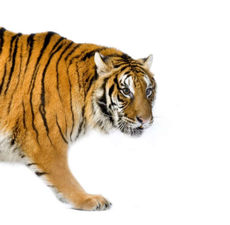 siberian tiger: Tiger walking in front of a white background. All my pictures are taken in a photo studio Stock Photo