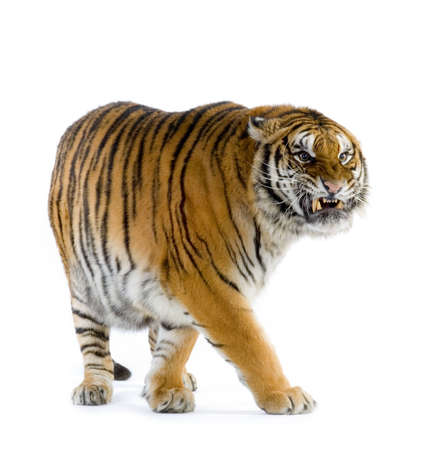 Tiger walking in front of a white background. All my pictures are taken in a photo studio photo