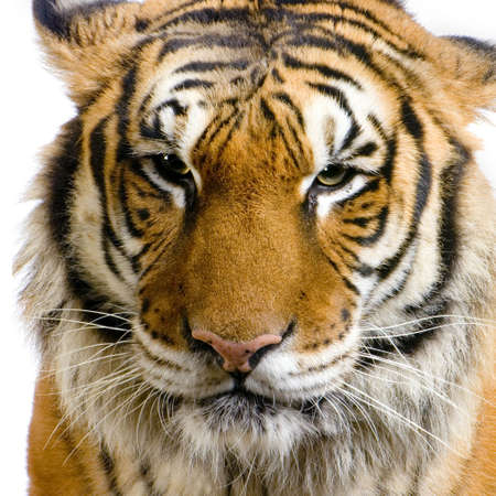 close-up on a Tigers face in front of a white background. All my pictures are taken in a photo studio photo