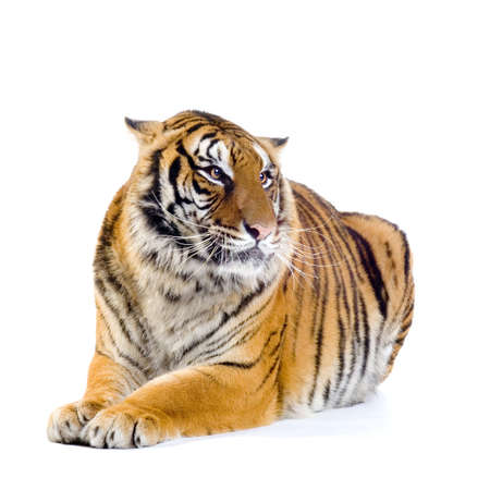 Бенгалия: Tiger lying down in front of a white background. All my pictures are taken in a photo studio Фото со стока