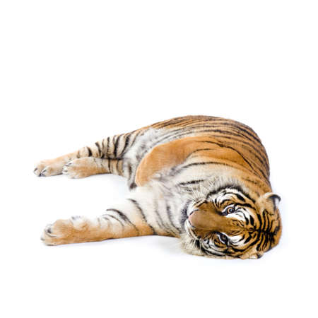 Tiger lying down in front of a white background. All my pictures are taken in a photo studio photo