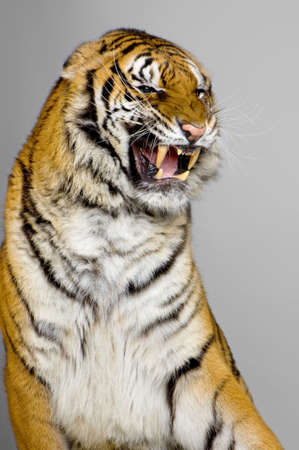 bengal cat: close-up on a Tigers Snarling in front of a white background. All my pictures are taken in a photo studio