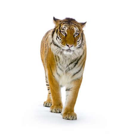 isolated tiger: Tiger in piedi di fronte a uno sfondo bianco guardando la telecamera. Tutte le immagini sono prese in una foto in studio