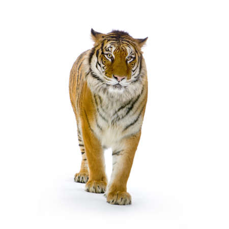 Tiger standing up in front of a white background looking at the camera. All my pictures are taken in a photo studio photo