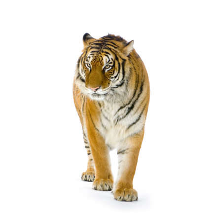 bengal cat: Tiger standing up in front of a white background. All my pictures are taken in a photo studio Stock Photo