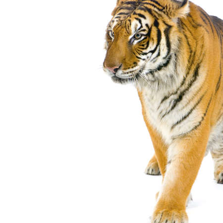 Tiger walking in front of a white background. All my pictures are taken in a photo studio Stock Photo - 757427