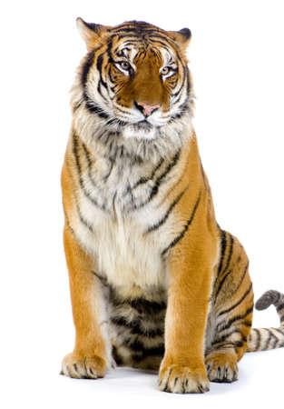 tigre blanc: Tiger assis devant un fond blanc. Toutes mes photos sont prises dans un studio photo