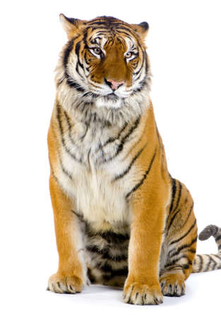 siberian tiger: Tiger sitting in front of a white background. All my pictures are taken in a photo studio