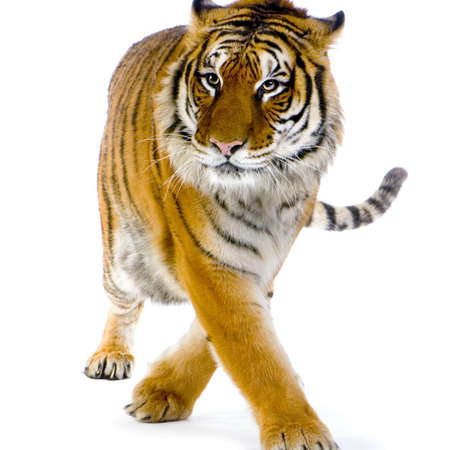 Tigre que camina delante de un fondo blanco. Todos mis cuadros se toman en un estudio de la foto Foto de archivo