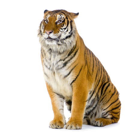 Бенгалия: Tiger sitting in front of a white background. All my pictures are taken in a photo studio