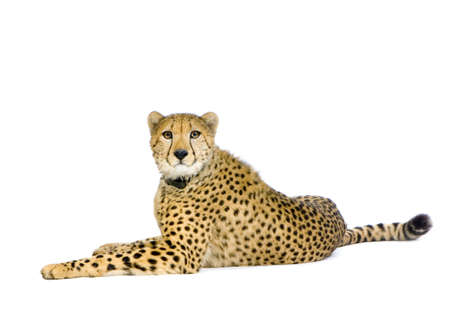 compilation: studio Shots of Cheetah  lying down in front on a white background. All my pictures are taken in a photo studio Stock Photo