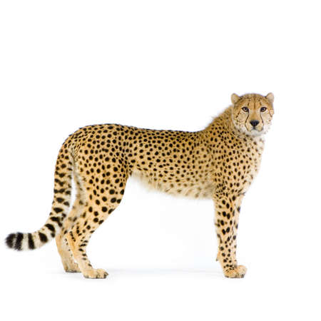 studio Shots of Cheetah standing up in front on a white background. All my pictures are taken in a photo studio