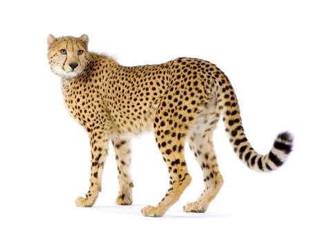 guepardo: Tiros de estudio Cheetah de pie delante de un fondo blanco. Todas mis fotos se toman en un estudio fotogr�fico  Foto de archivo