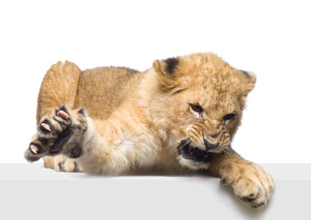 aggressively: studio Shots of Lion Cub (seven months) lying down in front of a white background. All my pictures are taken in a photo studio.