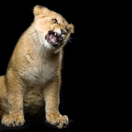 aggressively: studio Shots of Lion Cub (seven months) sitting in front of a black background. All my pictures are taken in a photo studio. Stock Photo