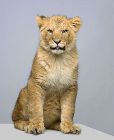 studio Shots of Lion Cub (seven months) sitting in front of a white background. All my pictures are taken in a photo studio. Stock Photo - 757401