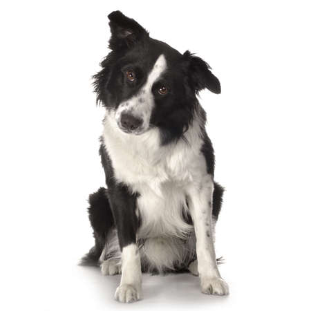 front facing: Border Collie Breed sitting in front of a white background and facing the camera