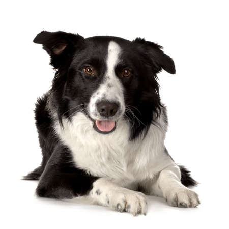 Border Collie Breed lying down in front of a white background and looking at the camera Stock Photo