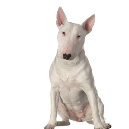 stocky: Bull Terrier sitting in front of a white background Stock Photo
