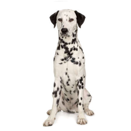 dalmation: Dalmatian sitting in front of white background