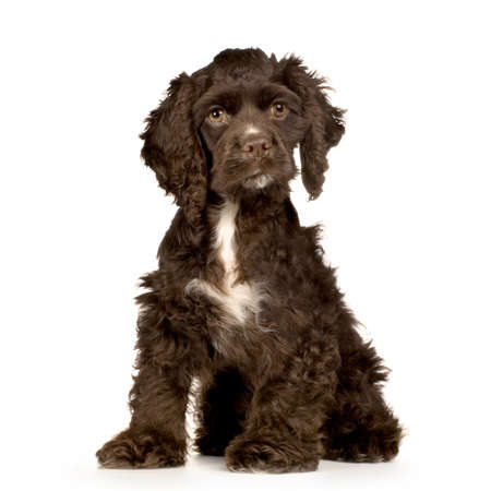 cocker spaniel: Puppy Cocker Spaniel Breed brown sitting in front of a white background Stock Photo
