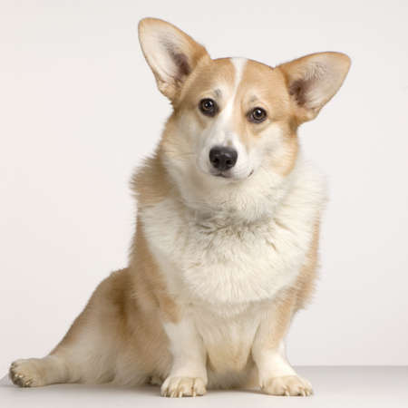 cardigan: Cardigan Welsh Corgi sitting in front of a white background