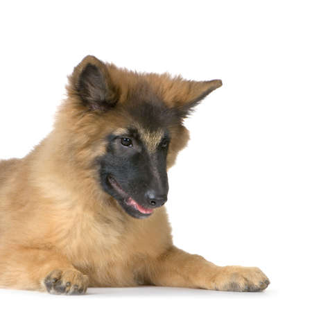 Puppy Belgian Tervuren lying down in front of a white background photo