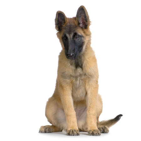 gardian: Puppy Belgian Tervuren sitting in front of a white background Stock Photo