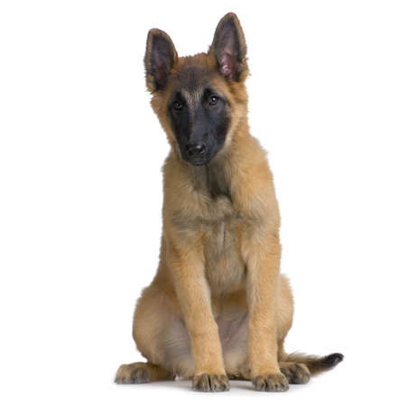 Puppy Belgian Tervuren sitting in front of a white background photo