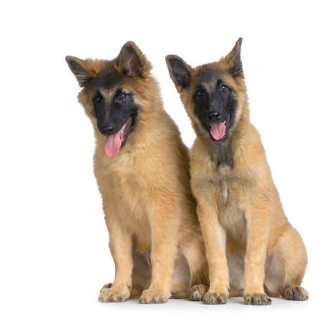 gardian: Couple of two Puppy Belgian Tervuren sitting in front of a white background