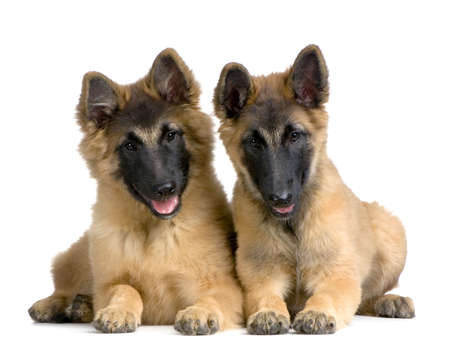 couple of Puppy Belgian Tervuren in front of a white background photo