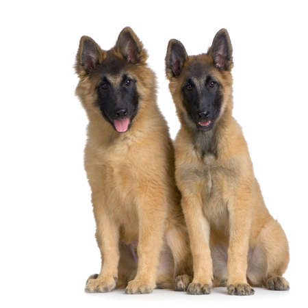 Couple of two Puppy Belgian Tervuren sitting in front of a white background and looking at the camera Stock Photo